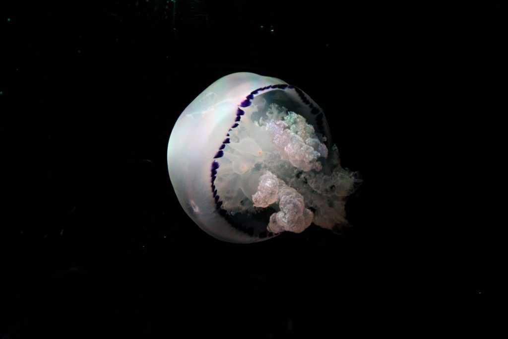 Oceanografico medusa