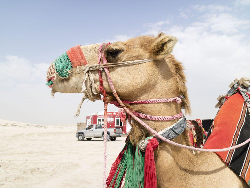 cammelli ESCURSIONE NEL DESERTO Doha - Qatar