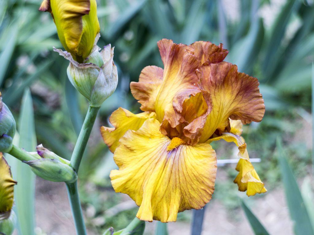 Giardino degli Iris - Firenze