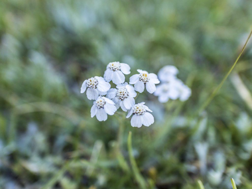 fiori Lago Verde - Alpe di Fanes fiori