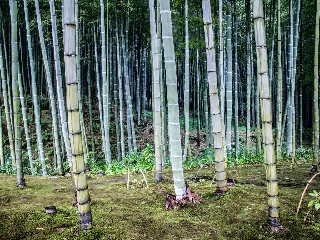 ARASHIYAMA – LA FORESTA DI BAMBOO