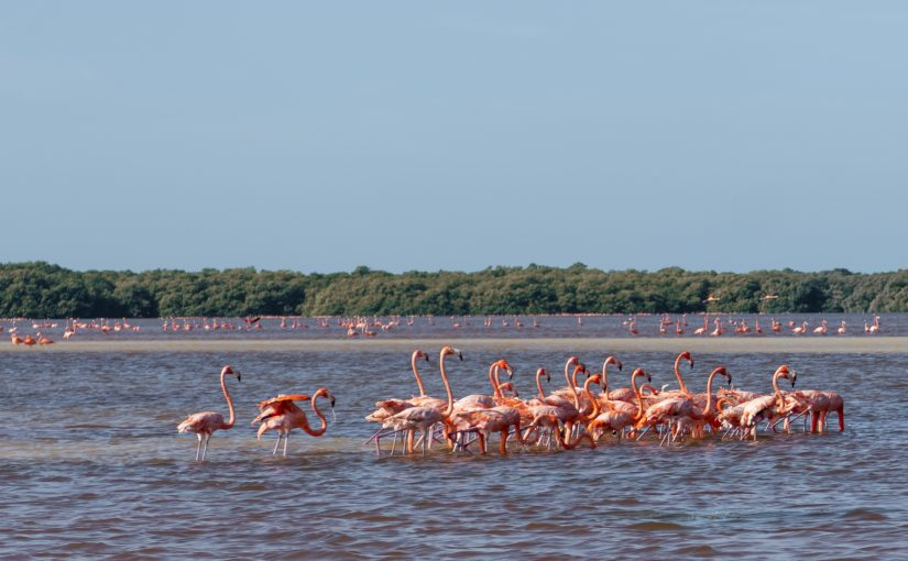 Yucatan – I fenicotteri rosa di Celestún
